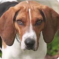 Adopt A Pet :: Bo - Albany, NY