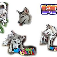 Adopt A Pet :: Lara - Seminole, FL