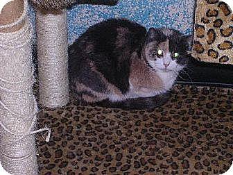 Domestic Shorthair Cat for adoption in Sherman Oaks, California - Stella - sponsor only