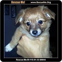 Adopt A Pet :: Foxy - Rancho Cucamonga, CA