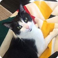 Domestic Shorthair Cat for adoption in Los Angeles, California - Anita
