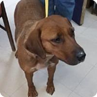 Adopt A Pet :: Hazel Grace - Avon, NY
