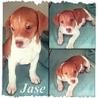 Adopt A Pet :: Jase 1 in CT - Manchester, CT