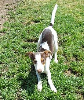 Rat Terrier/Miniature Pinscher Mix Puppy for adoption in Little Elm, Texas - Milo