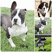 Pit Bull Terrier Dog for adoption in Sioux Falls, South Dakota - Olivia