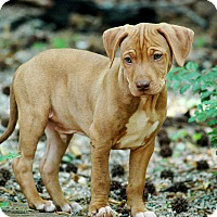 Adopt A Pet :: Duke - Lawrenceville, GA