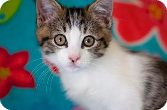 Domestic Shorthair Kitten for adoption in Santa Rosa, California - Sharla