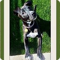Adopt A Pet :: Bear - Rancho Cucamonga, CA