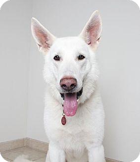 German Shepherd Dog Dog for adoption in Edina, Minnesota - Apollo D161346: PENDING ADOPTION