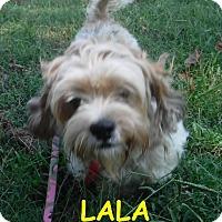 Adopt A Pet :: Lala - Batesville, AR