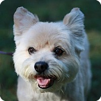 Poodle (Miniature)/Westie, West Highland White Terrier Mix Dog for adoption in Cookeville, Tennessee - Benji - 15 years old!