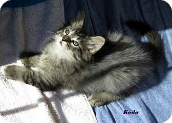 Domestic Longhair Kitten for adoption in St. Louis, Missouri - Koda