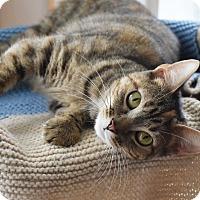 Adopt A Pet :: Clara - Bristol, CT