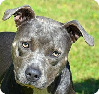 American Pit Bull Terrier Dog for adoption in Englewood, Florida - Blue