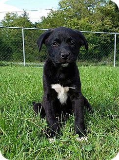 Border Collie/Labrador Retriever Mix Puppy for adoption in Columbia, Maryland - Verde