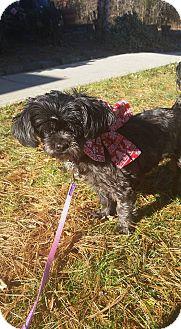 Shih Tzu Dog for adoption in Bridgewater, New Jersey - GODIVA