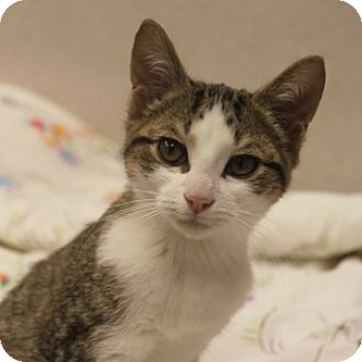 Domestic Shorthair Kitten for adoption in Naperville, Illinois - Nick Nick