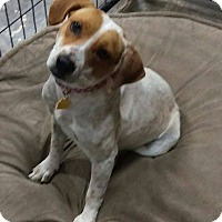 Adopt A Pet :: Prada - Apache Junction, AZ