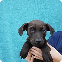 Adopt A Pet :: Shadow - Oviedo, FL