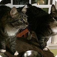 Adopt A Pet :: Hidey - Morganton, NC