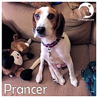 Adopt A Pet :: Prancer - Chicago, IL