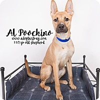 Shepherd (Unknown Type) Mix Dog for adoption in Newport, Kentucky - Al Poochino