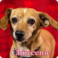 Adopt A Pet :: Chiweenie - Cincinnati, OH