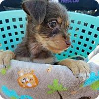 Adopt A Pet :: Clover PENDING ADOPTION - Seaford, DE