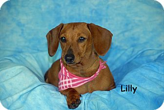 Dachshund Dog for adoption in Ft. Myers, Florida - Lilly