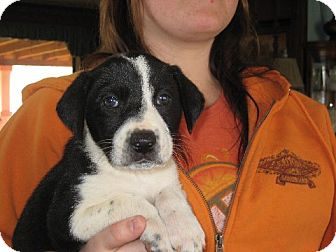 Beagle/Border Collie Mix Puppy for adoption in Greenville, Rhode Island - Sara Bear