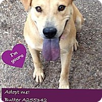 Adopt A Pet :: A255342 Butter - San Antonio, TX