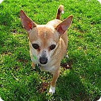 Chihuahua Mix Dog for adoption in Elizabethtown, Pennsylvania - Patches