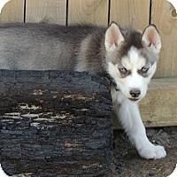 Adopt A Pet :: Vixey - Horsham, PA