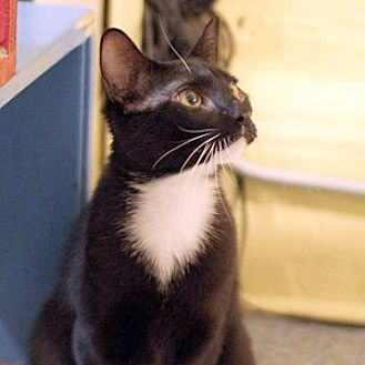 American Shorthair Kitten for adoption in New York, New York - Ebon