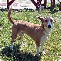 Adopt A Pet :: Chase - Tinton Falls, NJ