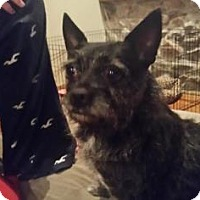 Adopt A Pet :: Izzie Bella - Warsaw, IN