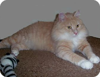 Domestic Longhair Cat for adoption in Hampton, Virginia - Chewie aka Chewbacca