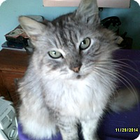 Domestic Longhair Cat for adoption in Manchester, Connecticut - Elizabeth