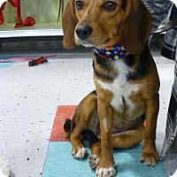 Adopt A Pet :: Scarlet - Schaumburg, IL