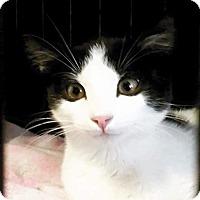 Adopt A Pet :: Arlo - Scottsdale, AZ