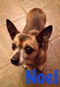 Chihuahua Mix Dog for adoption in West Valley, Utah - Noel