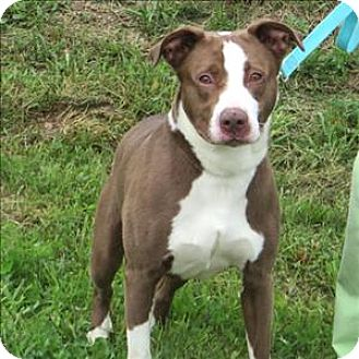Pit Bull Terrier Mix Dog for adoption in Indiana, Pennsylvania - Dewey