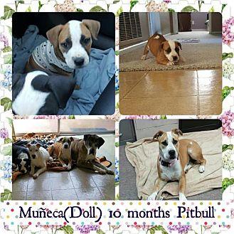 Pit Bull Terrier Dog for adoption in Fullerton, California - Doll