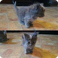 Adopt A Pet :: Luna - Lexington, KY