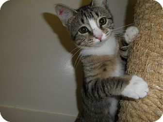 Domestic Shorthair Kitten for adoption in Milwaukee, Wisconsin - Sienna
