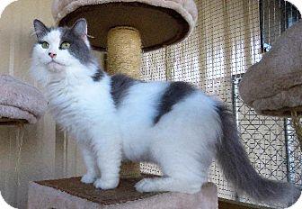 Domestic Longhair Cat for adoption in Van Wert, Ohio - Miss Fit