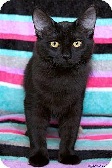 Domestic Mediumhair Cat for adoption in St Louis, Missouri - Joker