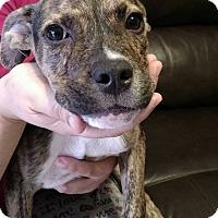 Adopt A Pet :: Brenda - Tampa, FL