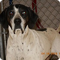 English Pointer Dog for adoption in Carmichael, California - Tipper