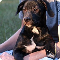 American Bulldog/Labrador Retriever Mix Puppy for adoption in Burbank, Ohio - Simki